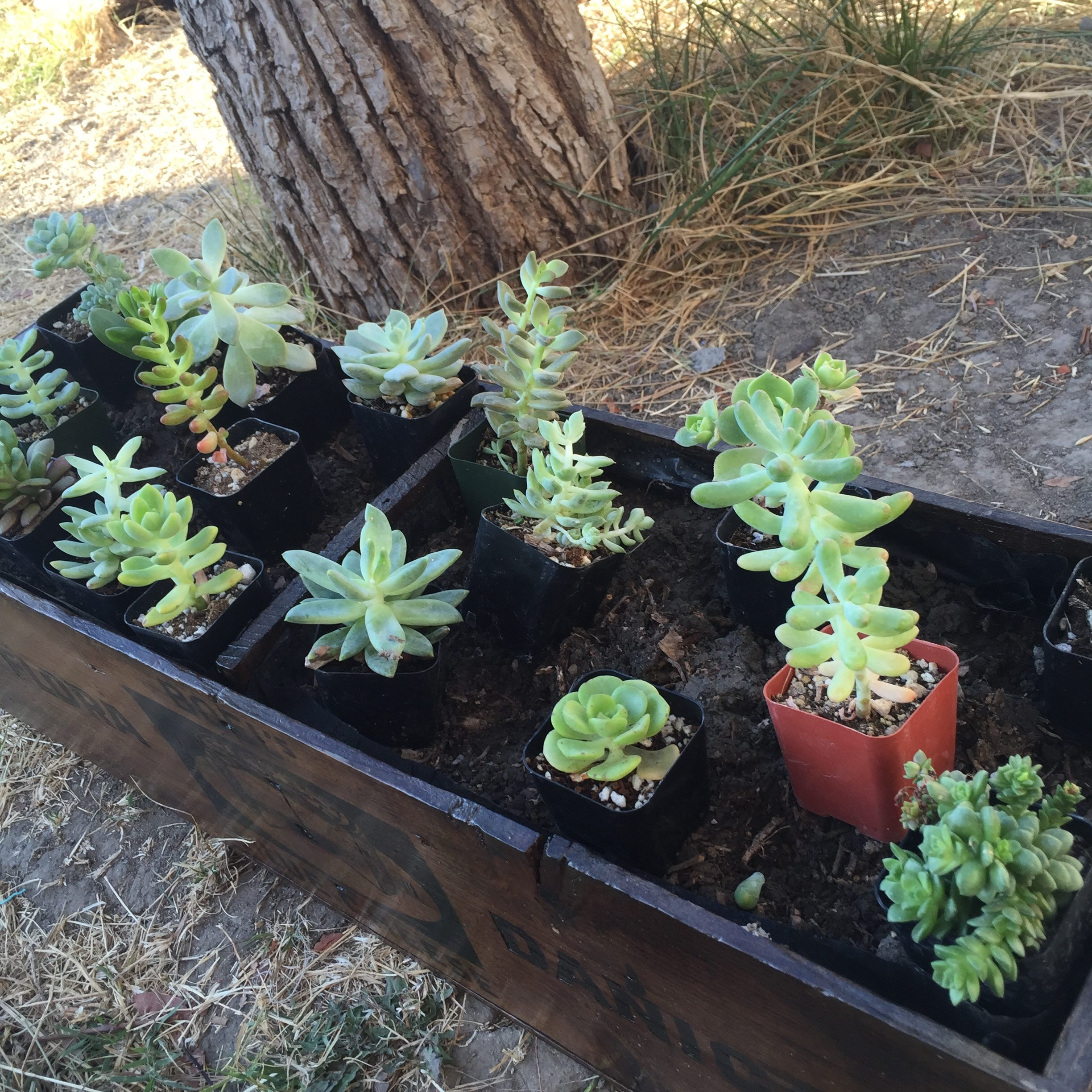 Succulent Arrangement In A Wooden Cheese Box